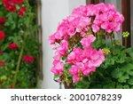 Richly Blooming Geranium...