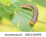 Small photo of Caterpillar - Achlya flavicornis