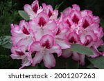 Hybrid Rhododendron Flowers....
