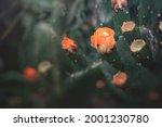 Beautiful Orange Prickly Pear...