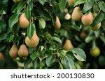Plenty Of Pears Growing On A...