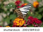 Butterfly On Lantana Red Yellow ...
