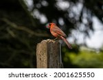 Small photo of Cardinal at Lynde Shores Conservation Area