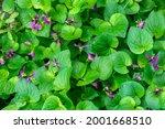 Spring Flowers. Violet Violets...