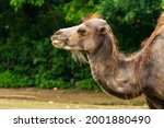 The bactrian camel  camelus...