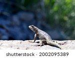 Lizard On A Fallen Tree  Close...