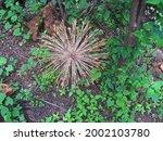 Dry Century Plant Tumble Weed...