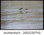 Pair Of Cormorants Flying Over...