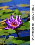 Purple water lily blossom in pond - stock photo