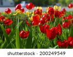 red  and yellow tulip  flower ... | Shutterstock . vector #200249549