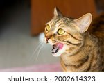 Tabby Cat Licking Lips.hungry...