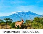 The Springbok In Amboseli Park. ...