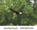 Bald Eagle  Flying Big Eagle ...