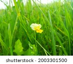 Viola Arvensis Is A Species Of...