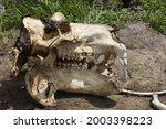 Hippopotamus Skull  Okavango...