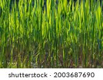 A Green Reed Backlit By The Sun ...