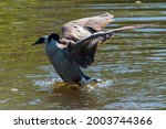 Adult Canadian Goose Landing On ...