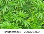 Cannabis Plant Growing Outdoor...