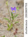 Wild Pansy    Viola Tricolor ...