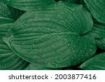 green leaves of the plant close ... | Shutterstock . vector #2003877416