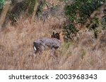 Southern Reed Buck In Long...