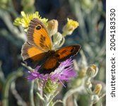 Small photo of Southern gatekeeper (Pyronia cecilia) on a flower