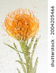 Orange Pincushion Protea With...
