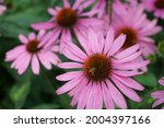 Group of echinacea flowers....