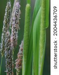 Small photo of The blossoming ear of the Timothy grass . Herd grass meadow. Phleum pratense. Poaceae Family.Growing in New Hampshire.