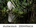 Great Egret In Florida. Usa ...