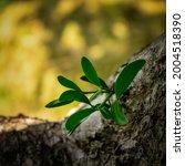 A Sprig Of Mistletoe Growing On ...