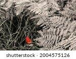 Bracken Ferns In Autumn In The...