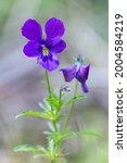 Viola Declinata Is An Alpine...