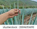 Small photo of A person's hand grasping a blue agave stalk in the field to make tequila tequila industry concept