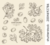collection of hawthorn ... | Shutterstock .eps vector #2004692786