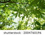 fresh green trees and sunbeams   Shutterstock . vector #2004760196