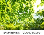 fresh green trees and sunbeams   Shutterstock . vector #2004760199
