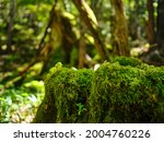 mossy forest in odaigahara ...   Shutterstock . vector #2004760226