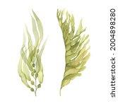 set of green seaweeds... | Shutterstock . vector #2004898280