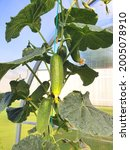Cucumbers Grow In Bunches On A...