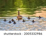 A family of ducks  a duck and...