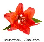Red Lilly Flower Closeup On...