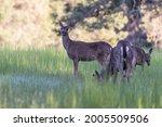 Group Of Black Tail Deer...