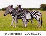 herd of wild african zebra...   Shutterstock . vector #200561150
