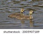 Detail Of Two Goslings Of...