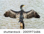 Cormorant (Phalacrocorax Carbo) perched atop a wooden stump drying its wings in the sun, wings open or spread. England, UK