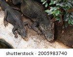 Two Crocodile Lay On Rock Near...