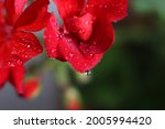 Raindrops On The Red Flowers Of ...