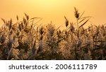 Golden Sunset Light Reeds ...