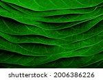 Green Walnut Leaves  Leaf...